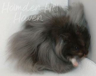 Aaa Hamsters Love Monster Black Longhaired Syrian Hamster