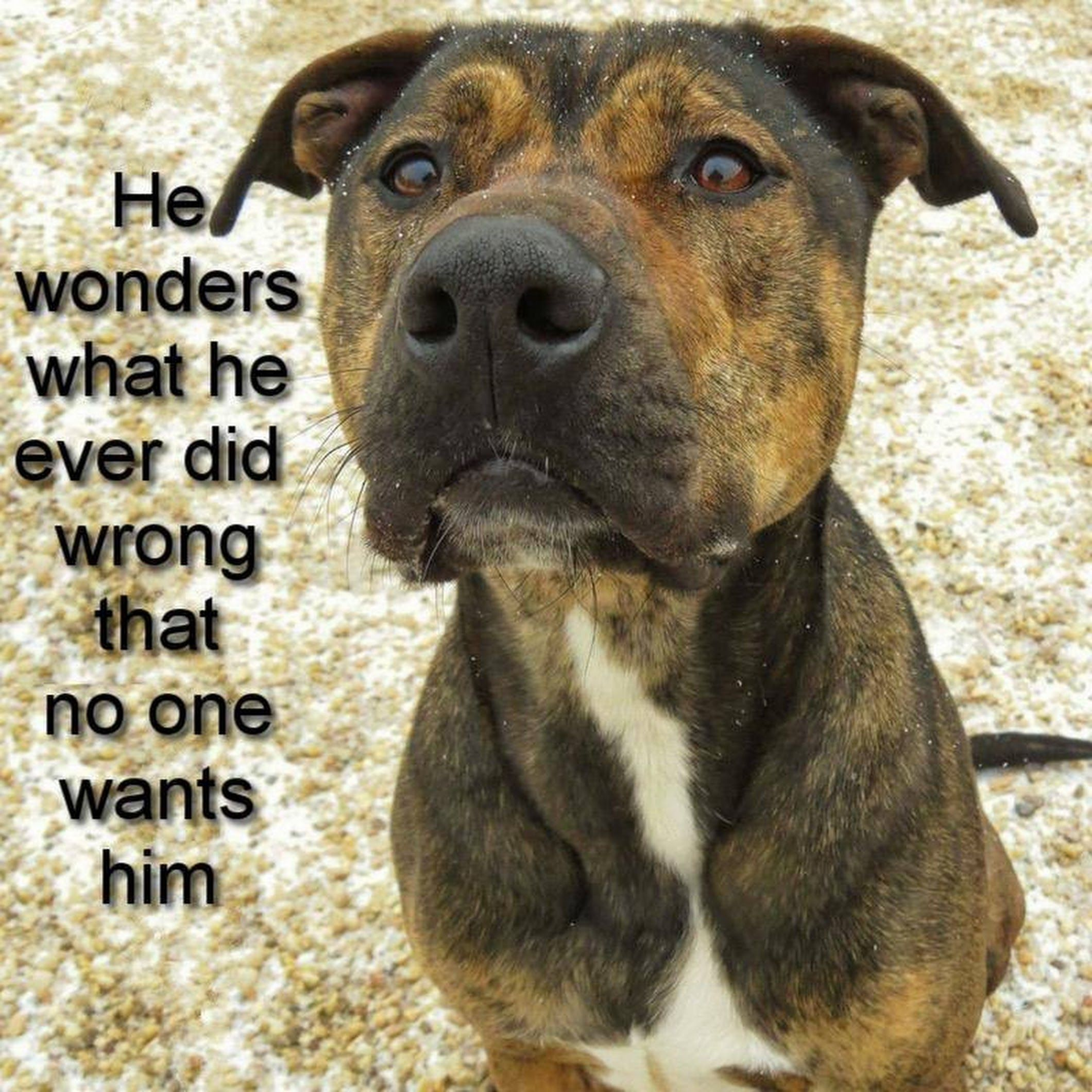 Will You Help Me Brody Is Available At Babylon Animal Shelter 51 Lamar Street West Babylon New York 631 643 9270 Pitbull Quotes Pitbull Dog Animal Shelter