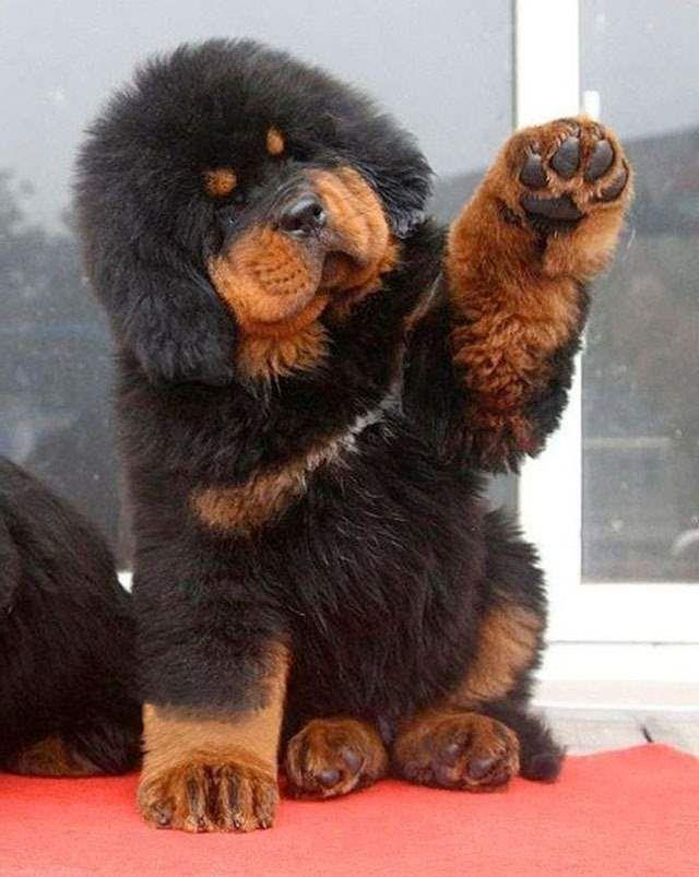 Brown And Black Tibetan Mastiff Puppy