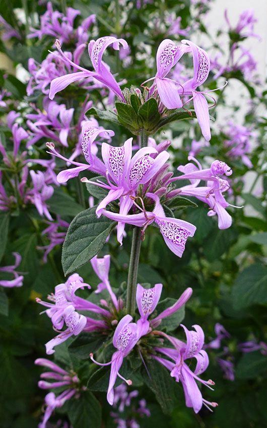Hypoestes aristata -Ribbon Bush -Acanthaceae