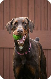 Fort Worth Tx Doberman Pinscher Meet Chili A Dog For Adoption