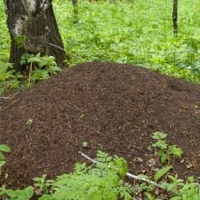 Getting Rid Of Ant Hills Rid Of Ants Get Rid Of Ants Ant Hill