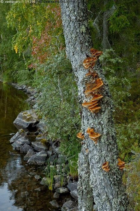 Ketunkääpä - ketunkääpä inonotus rheades sieni laho puu ranta vesi konnevesi järvi taantunut vanha metsä