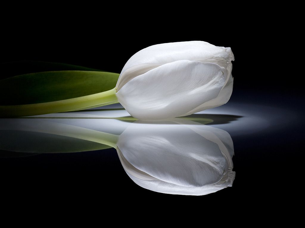 Image white tulip google search photographs pinterest white tulip wallpaper 16887 hd wallpapers in flowers imagesci dhlflorist Image collections