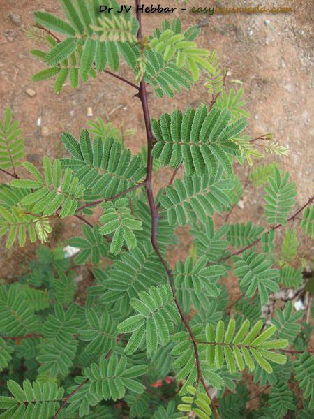 Khadira Acacia Catechu Uses Qualities Ayurveda Details Medicinal Plants Ayurveda Acacia