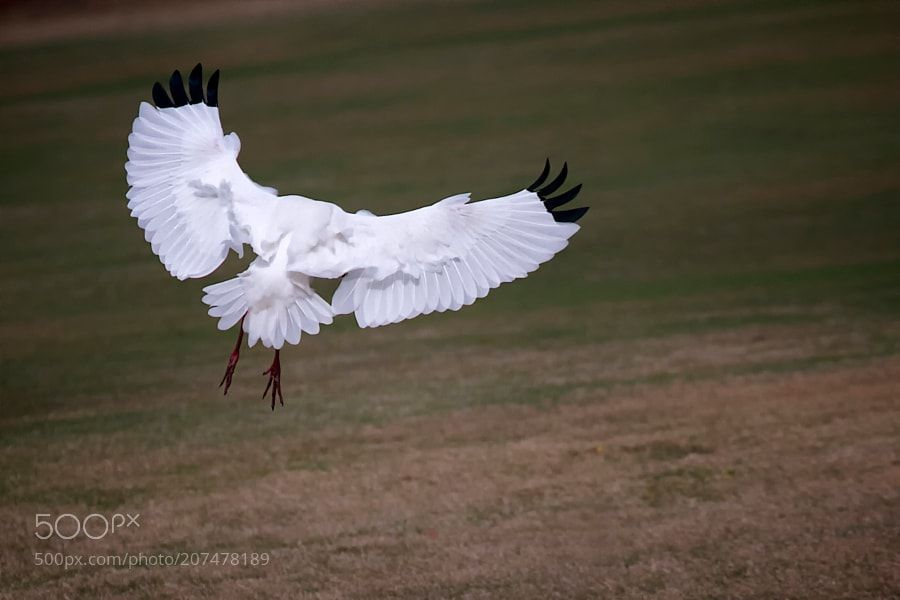 A White Ibis by The-Spirit-Within
