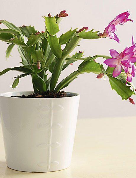 Cuidados cuidados cactus cactus de navidad y cactus - Cuidados planta navidad ...