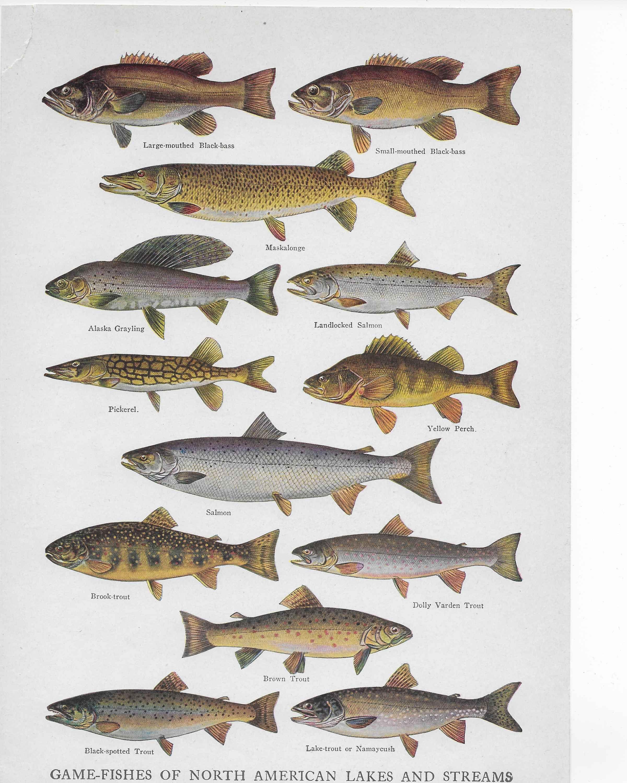речные рыбы средней полосы россии картинки поселок стал