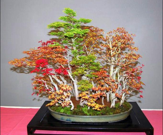 Mixed Maple Forest Maple Bonsai Bonsai Tree Bonsai Forest