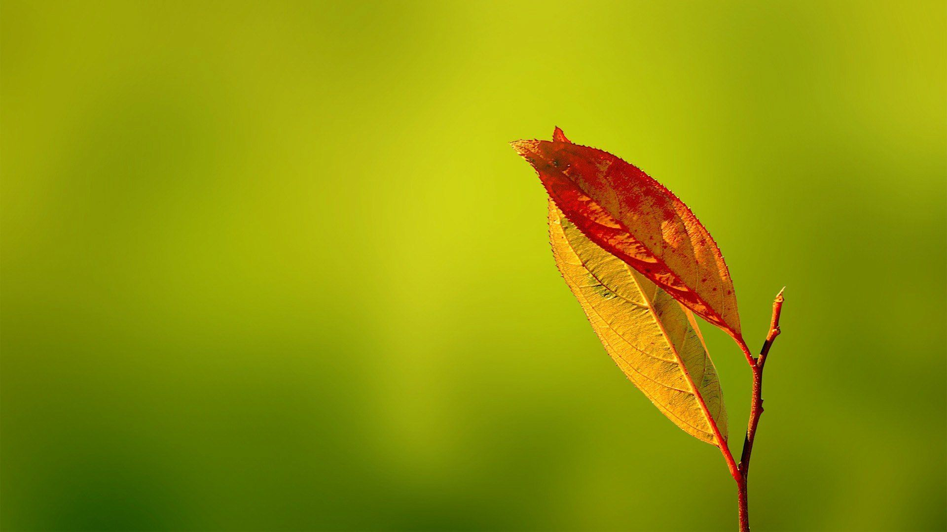 Hd wallpaper wide - Macro Wallpaper Wallpaper Leaves Macro Hd Wallpapers