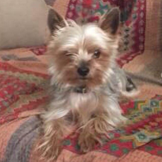 Founddog 5 21 15 Losangeles Ca Koreatown Yorkshireterrier M Dt8rz 5039033043 Comm Craigslist Org Losing A Dog Yorkshire Terrier Find Pets