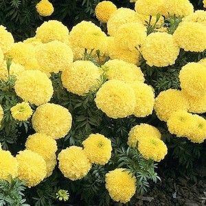 Marigold inca 2 primrose four inch fully double pastel yellow marigold inca 2 primrose four inch fully double pastel yellow flowers annual flower seeds mightylinksfo