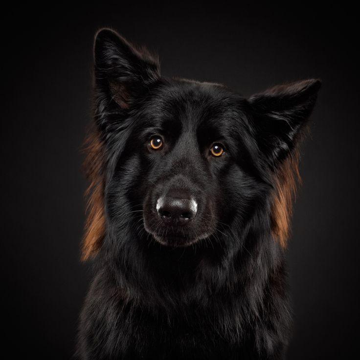 I love black Shäfer dogs ! Amazing animals Pinterest