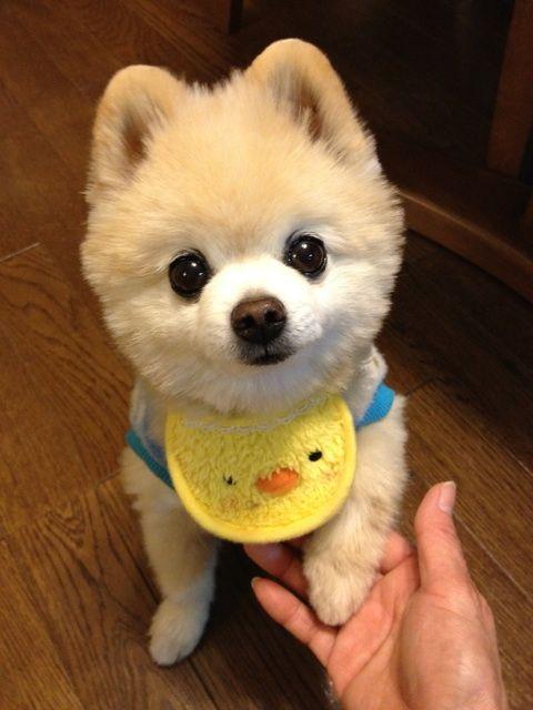 Resultado de imagen para 犬 Pomeranians 可愛らしい