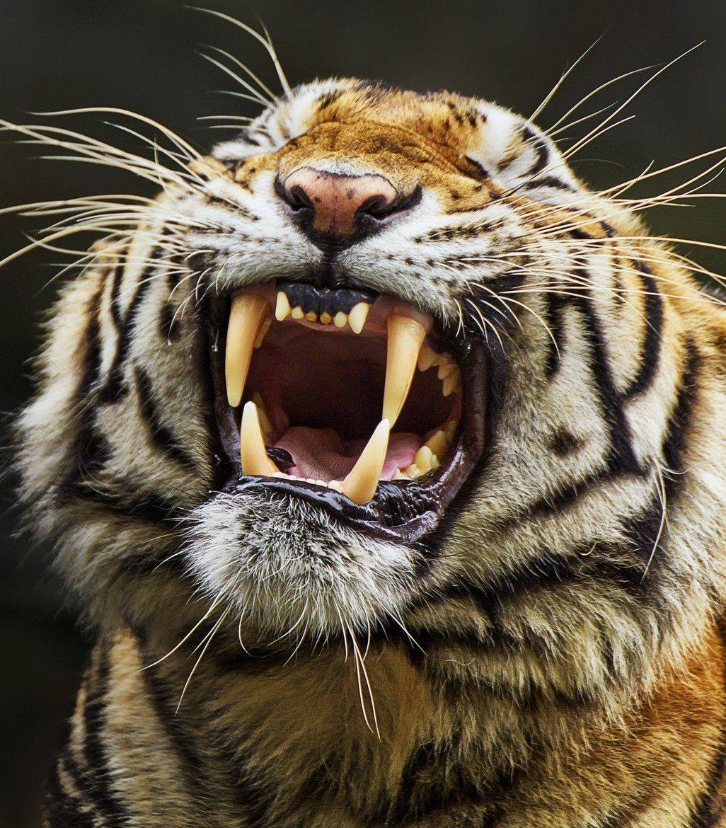 Sharp and Shiny by Charliemagne Unggay Animals, Tiger