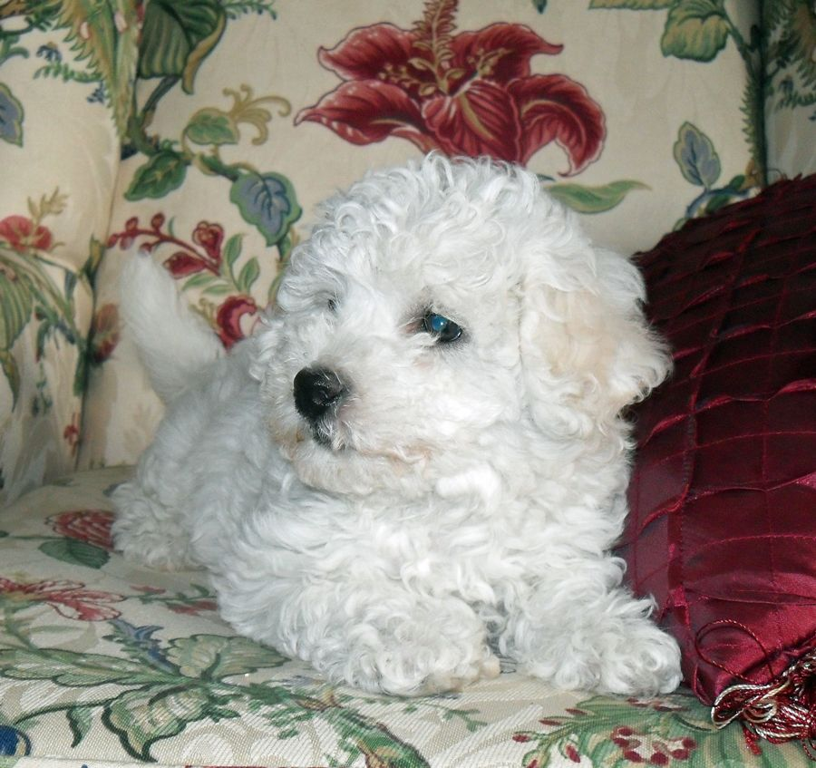 Bichon Frise Puppies In Minnesota Experienced Breeders Of Bichon