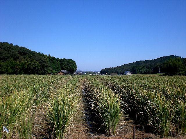 菰野町西菰野地区 マコモの栽培   平成24年9月28日撮影