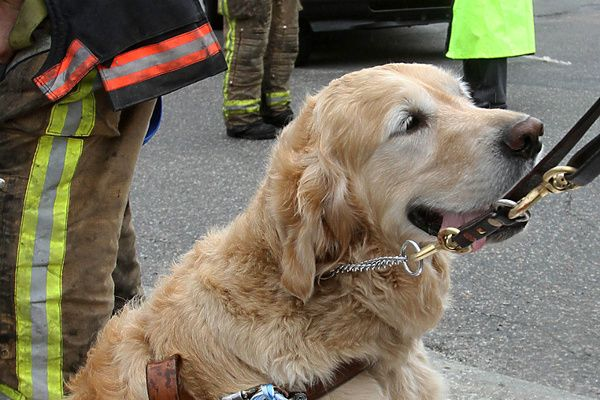 Golden Retriever Jumps In Front Of Bus To Protect Blind Owner