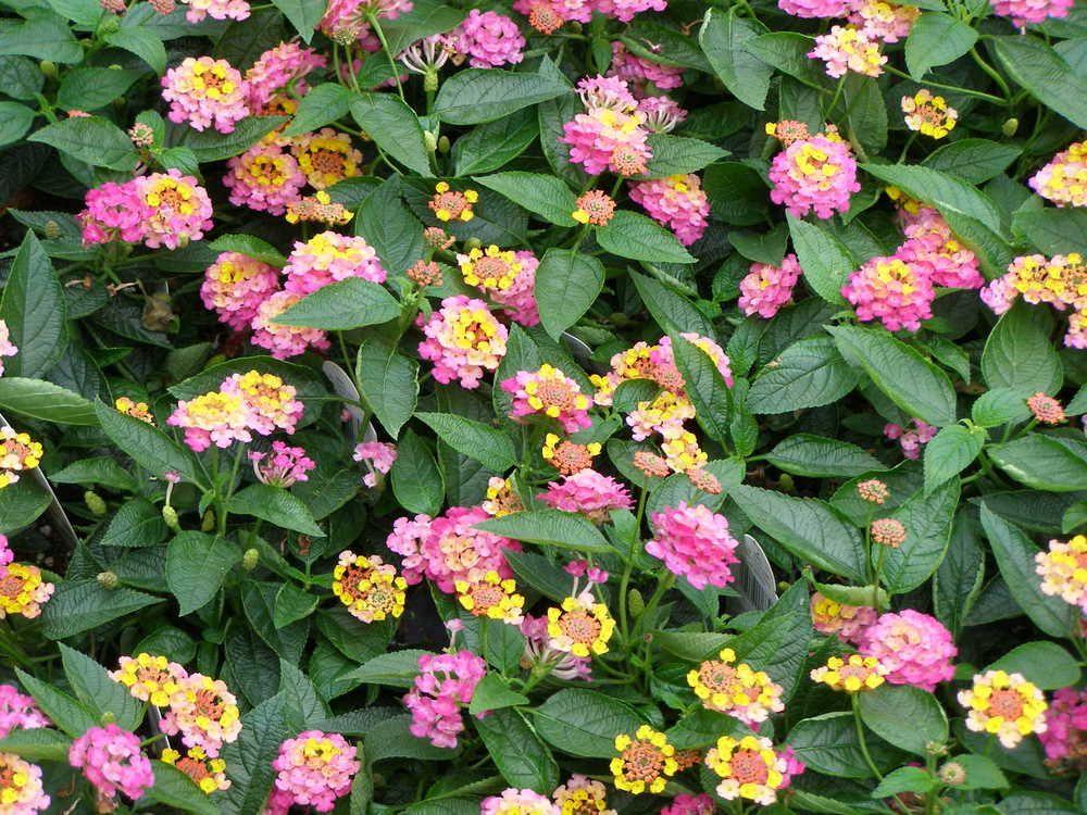 Lucky Sunrise Rose Lantana Lantana Full Sun Flowers Spring Plants