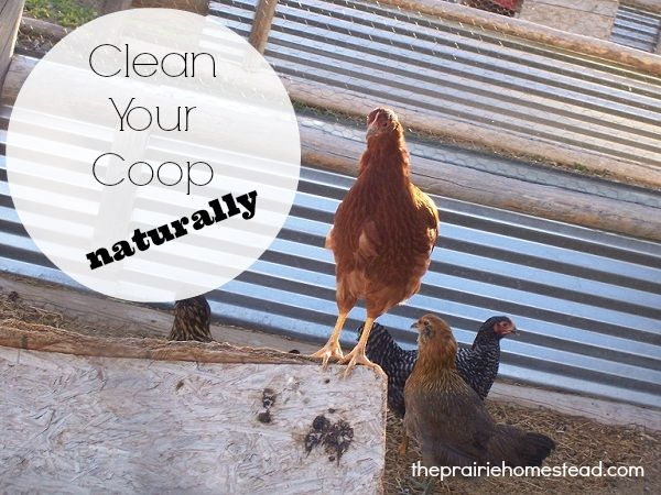 naturally clean chicken coop / http://www.theprairiehomestead.com/2011/03/naturally-disinfecting-the-chicken-coop.html