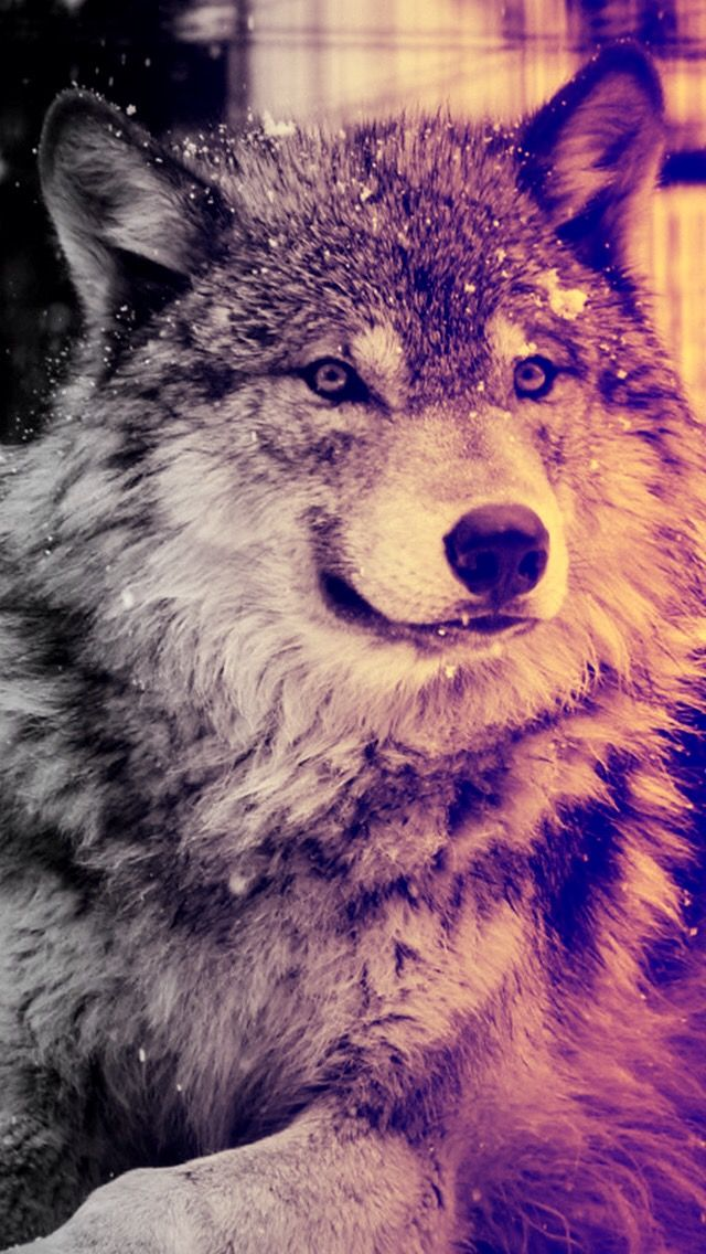 Pin by Shannon Greig on Oh Animals Wolf wallpaper, Wolf
