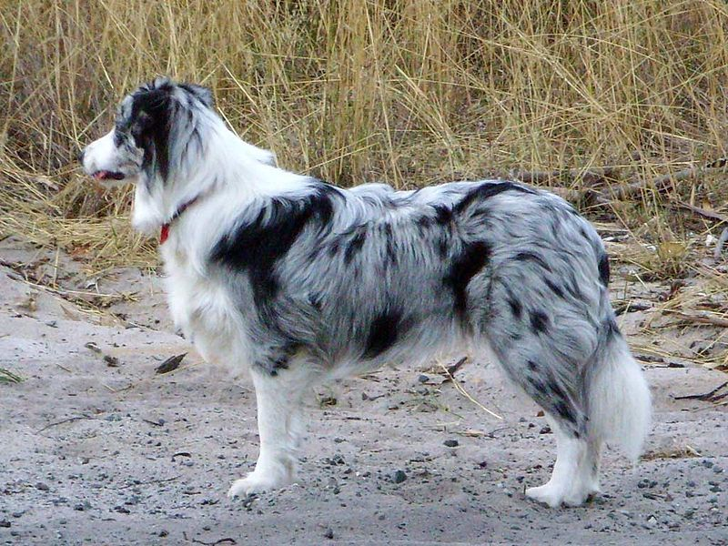 A 8 Month Old Female Blue Merle Border Collie Named Willow Photo Taken In Western Australia Border Collie Puppies Collie Puppies Border Collie Merle