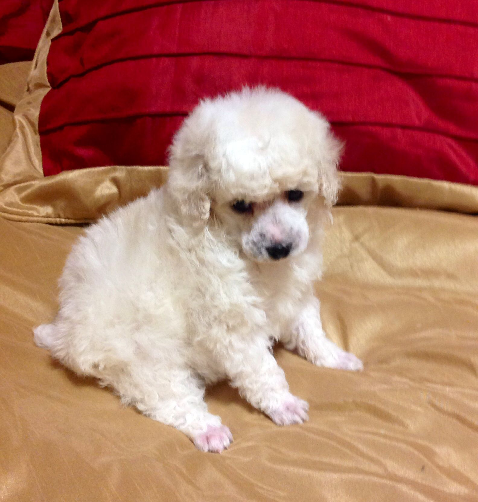 Akc Ice White Toy Poodle Puppy Poodle Puppy Toy Poodle Puppy