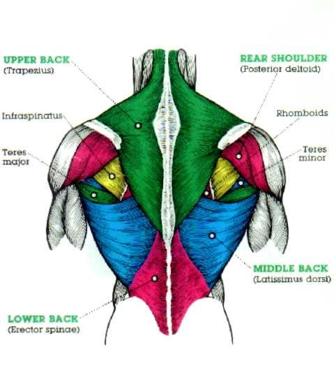 muscles of the trapezius - Google Search | FITNESS, POWERLIFTING ...