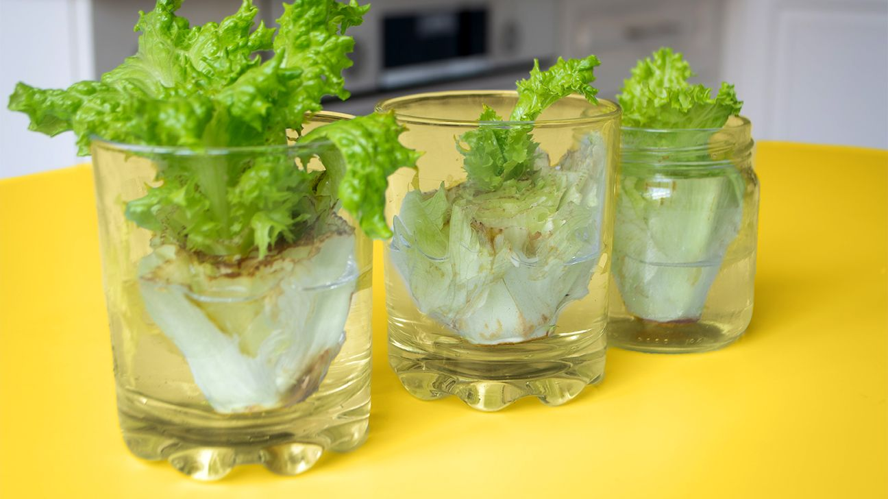 how to grow lettuce indoors without soil
