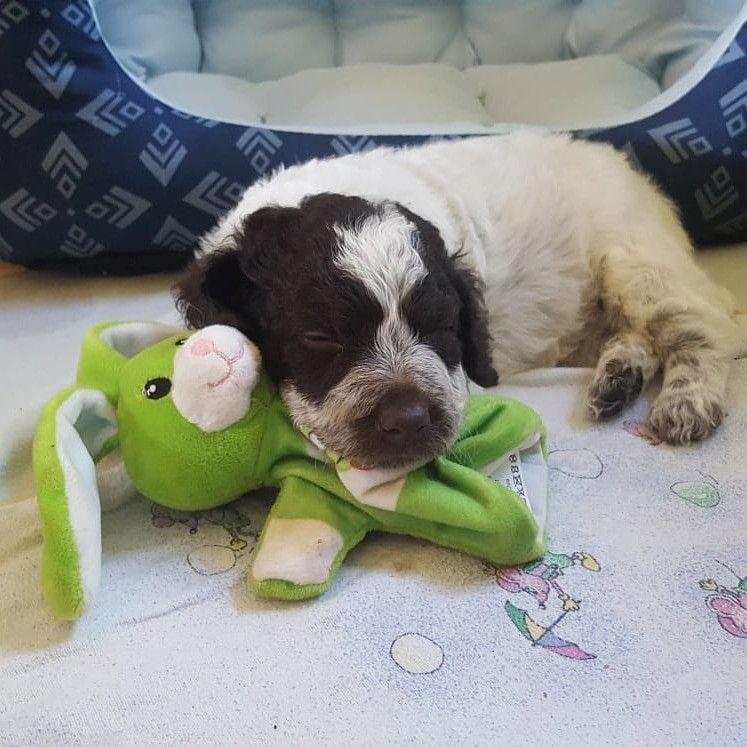 Lagottos Vom Fichtelhof For Sale Hunde Welpen Spass