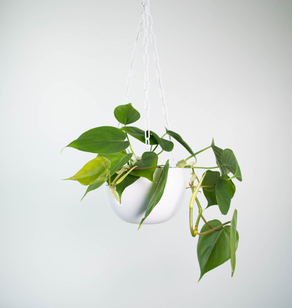 Sweetheart Plant in Ceramic Hanging Pot | Cool indoor plants ...