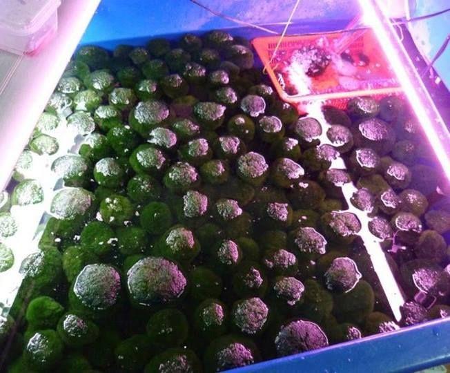 The legend of your Moss Ball Pet Marimo moss ball, Moss