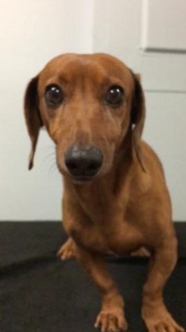 Dachshund Dog For Adoption In Weston Fl Adn 420869 On