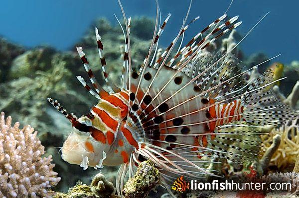 Lion Fish / Löven Fisch