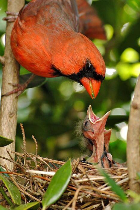 Cardinal Bird Feeding A Baby With Images Beautiful Birds
