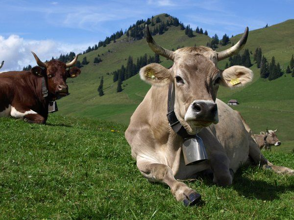 brown swiss with horns | tattooing | Pinterest | Cow ...