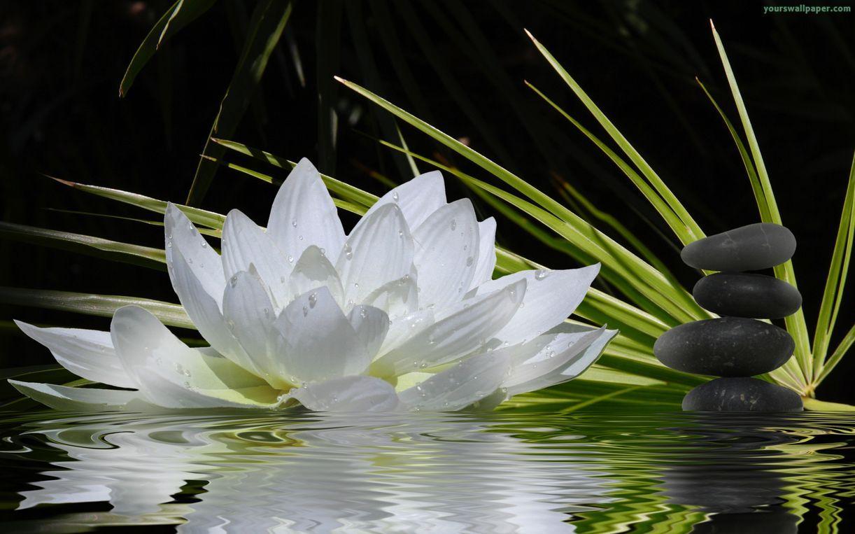 Wallpaper steine blumen  Zen Flowers | Zen sleep music flower stone Wallpapers | NATURALEZA ...