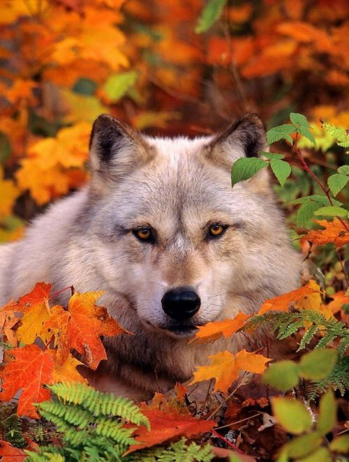Wolf in Fall Leaves... By Artist Unknown...