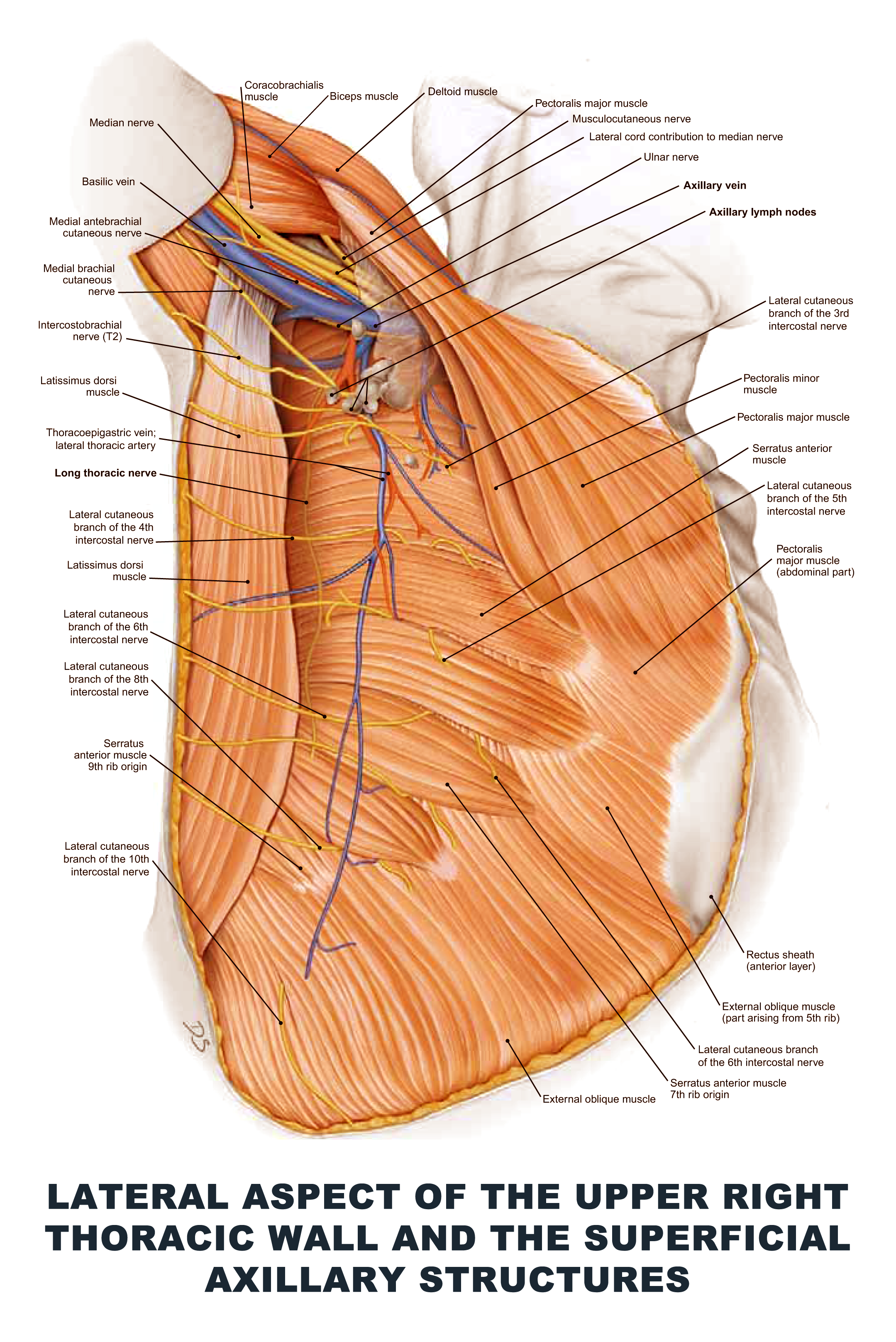 Lateral Aspect of the Upper Right Thoracic Wall and the Superficial ...