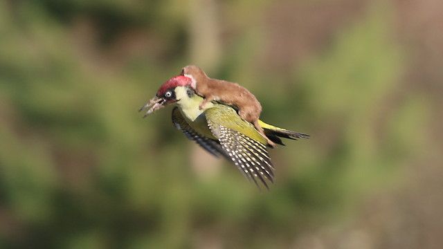 The little predator rides the woodpeckers back