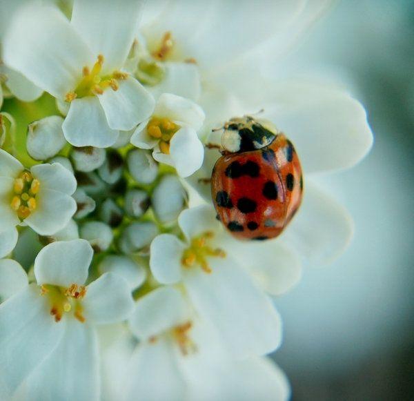 Ladybug | lady bugs | Pinterest | Ladybug, Lady bugs and Insects