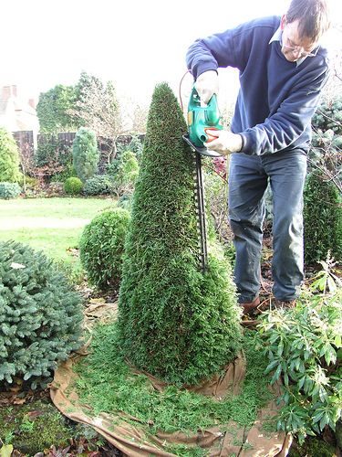 Early Winter Pruning Of Feathery Conifer Growth Conifers Garden Topiary Garden Plants