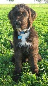 Poodle Boxer Mix Hybrid Dogs Dog Breeds