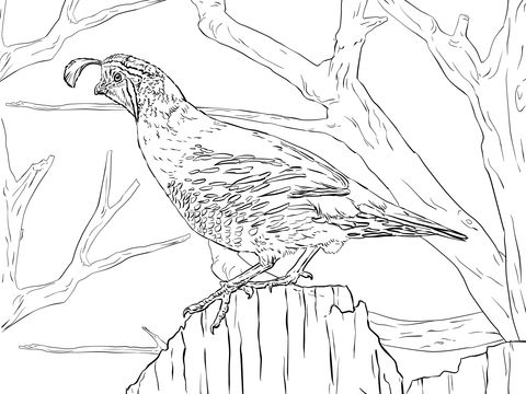 California Quail Coloring Page  Coloring pages for Adults