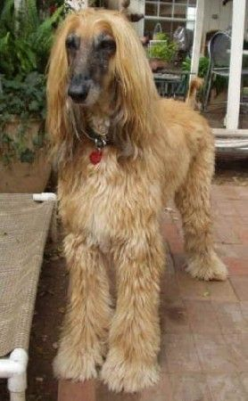 Short Hair Afghan Hound Dogs