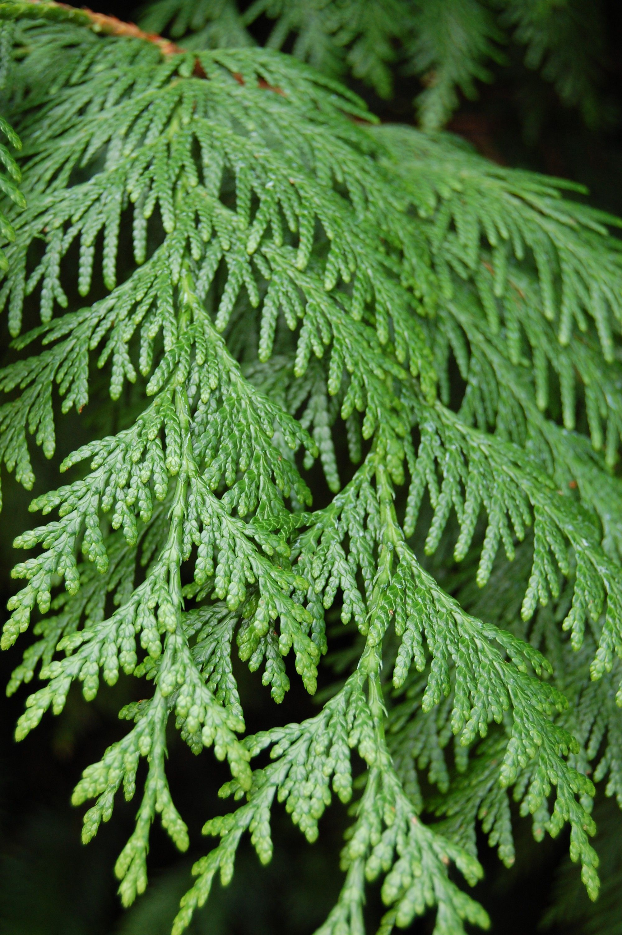 Cedar tree leaves identification imgkid the