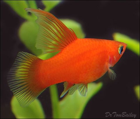 Hifin platy fish for sale at aquarium acuaria for Colorful freshwater fish for sale