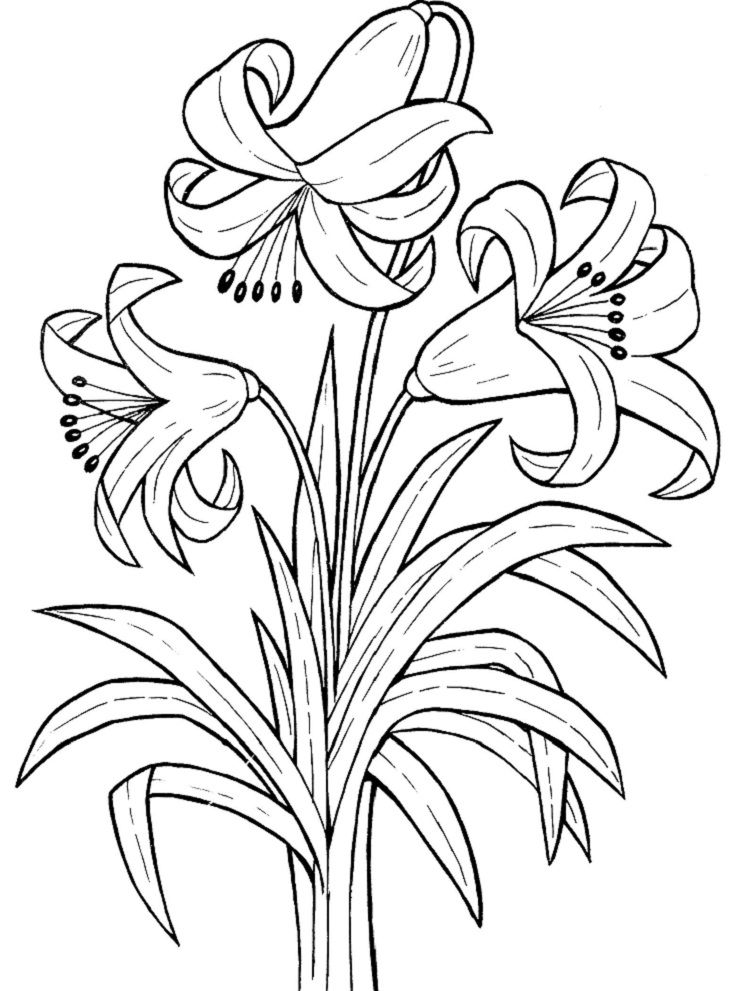 Lily Coloring Pages Printable Rose Coloring Pages Printable