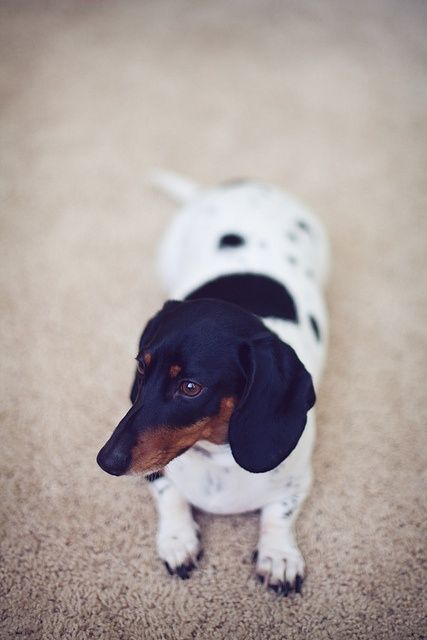 What Is a Piebald Dachshund? | Pets - The Nest