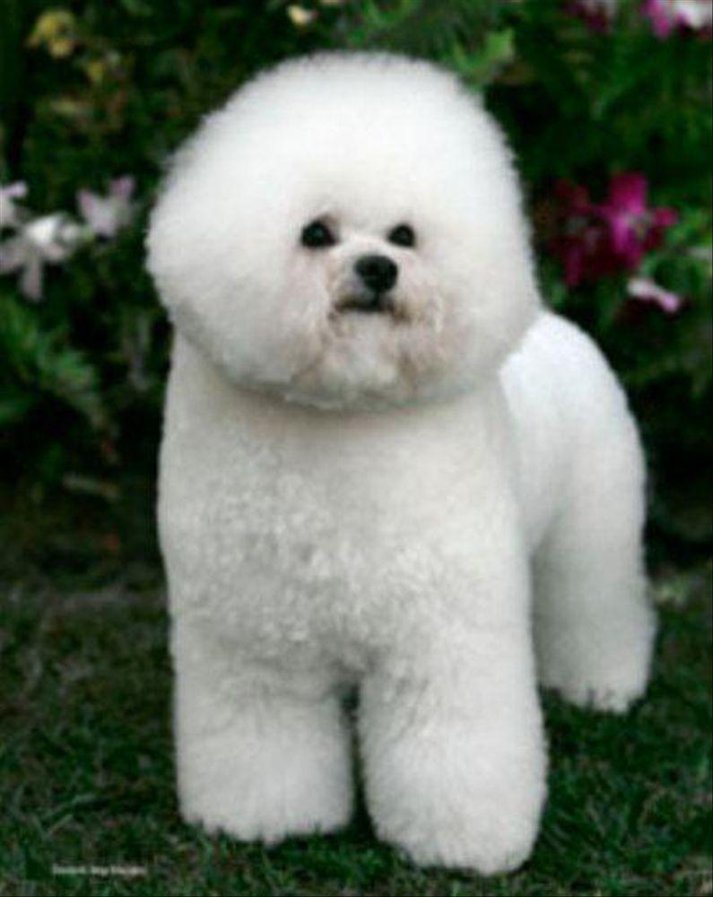 Legend Bichons In California Find Your Bichon Frise Puppy Good Dog In 2020 Bichon Frise Puppy Bichon Frise Dogs Bichon